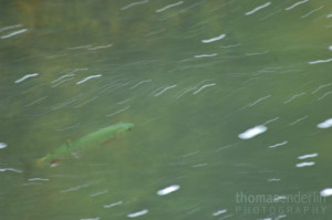 TEPhoto-Landings-Cloudforest Trout-2