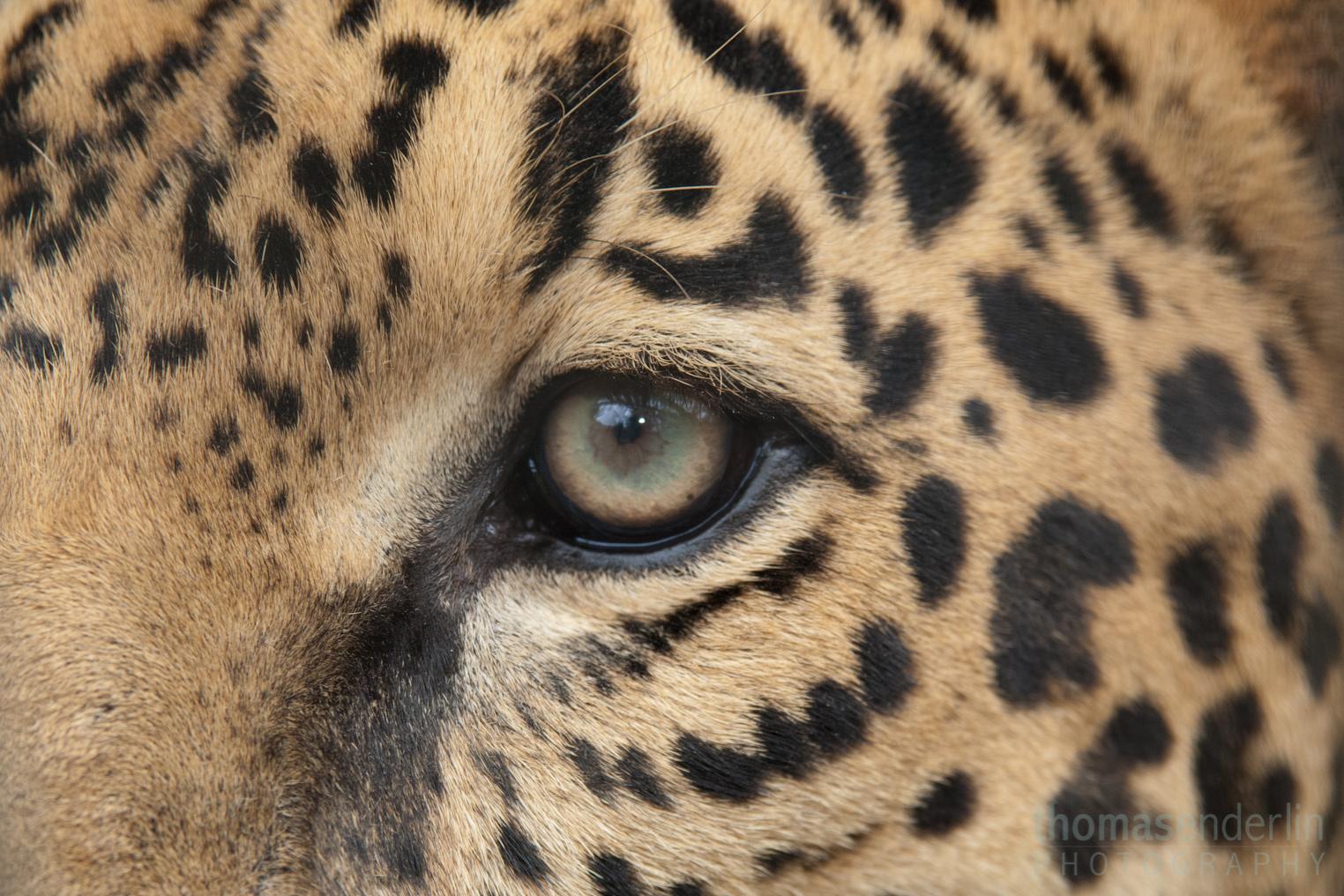 Jaguar animal paw - photo#5