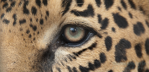 Paw Prints – Jaguars of Costa Rica