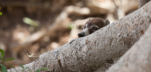Spotlight on a Species – White-nosed Coati